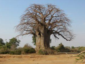 Baobab Tree – Edible Fruit