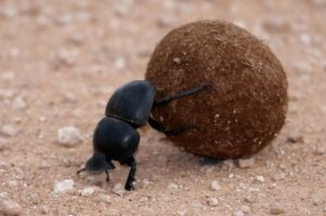 Dung Beetle Navigating From Above
