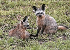 Bat Eared Fox Been Around For over 750 000 Years