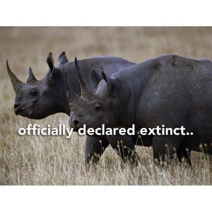 West African Rhino extinct